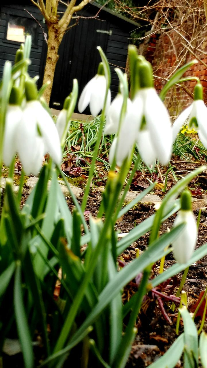 growth, snowdrop, freshness, flower, selective focus, fragility, beauty in nature, white color, grass, nature, green color, plant, no people, close-up, day, outdoors, flower head, crocus