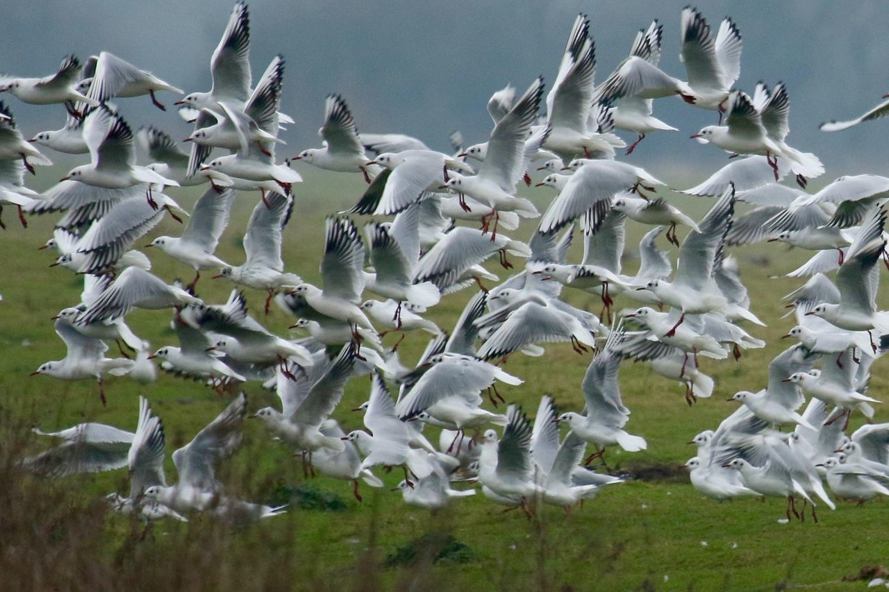 flying, animal themes, large group of animals, nature, no people, animals in the wild, day, bird, animal wildlife, motion, beauty in nature, outdoors, spread wings