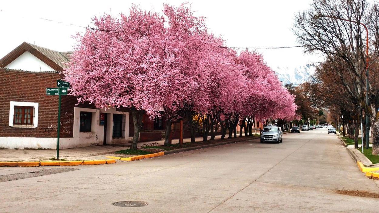 Primavera Primavera2016 Spring Spring Flowers Flores Arboles En Flor Trees Arbolado Urbano Arboles De Vereda Mi Ciudad My City Esquel, Chubut, Argentina