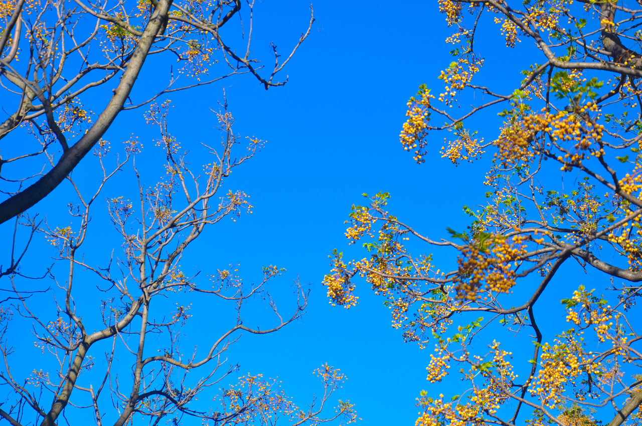 blue, branch, tree, low angle view, nature, beauty in nature, clear sky, day, growth, no people, tranquility, outdoors, sky, bare tree, flower