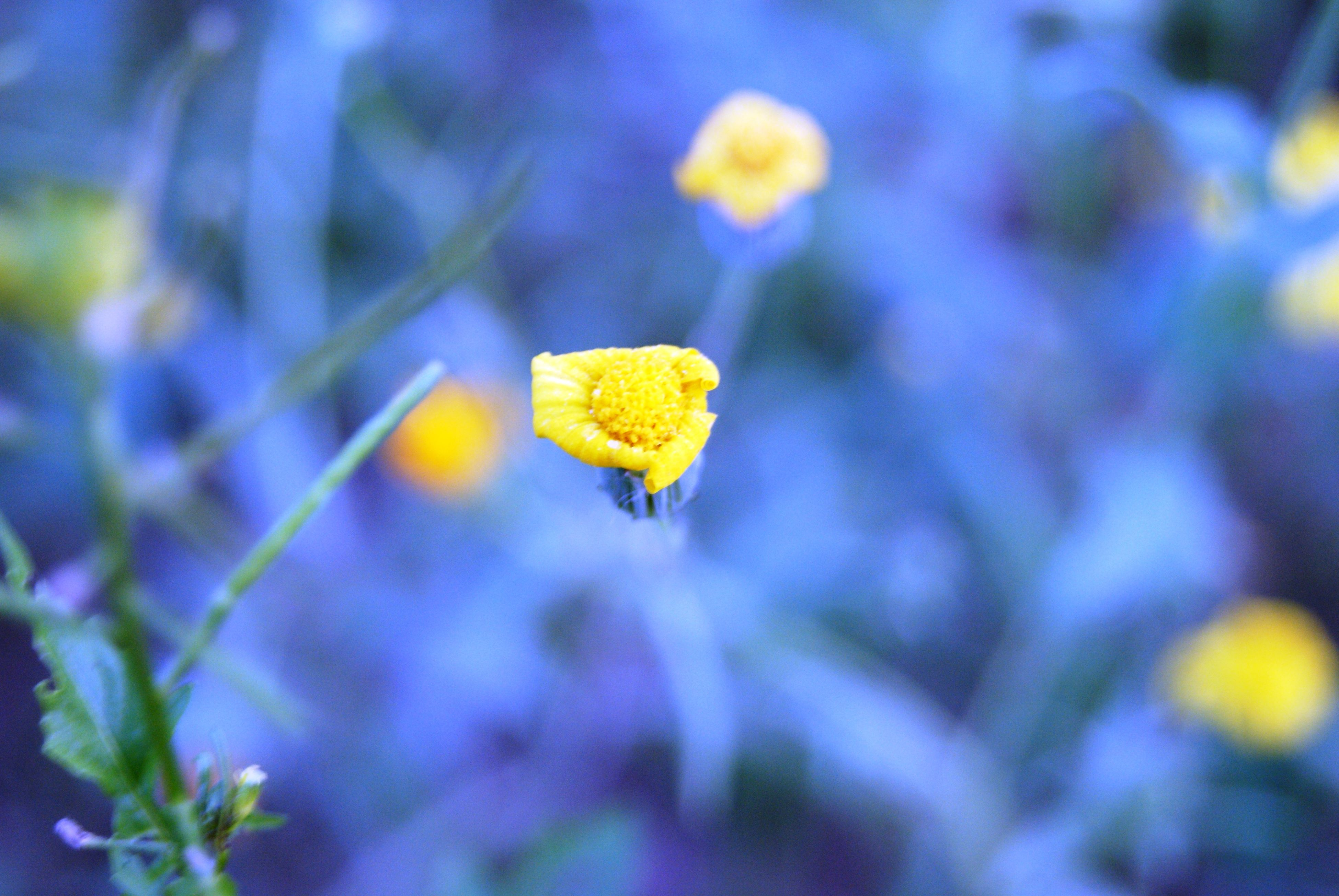 yellow, flower, fragility, growth, petal, focus on foreground, close-up, freshness, selective focus, beauty in nature, plant, nature, flower head, blooming, stem, outdoors, day, no people, in bloom, field