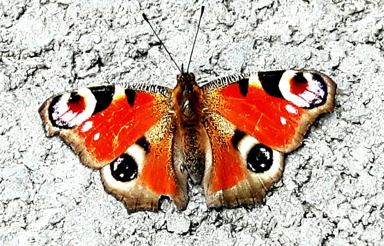one animal, animals in the wild, insect, animal themes, close-up, butterfly - insect, animal wildlife, no people, day, red, outdoors, nature, full length