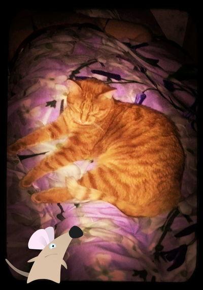 Пихтовый Лесная 7 кот Cat
