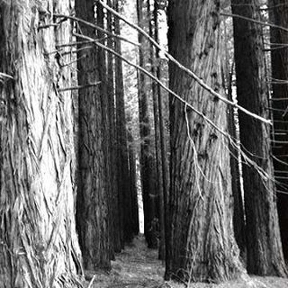 Cedarforest Melbourne Victoriassecret Creepy Nature Warburton Hidden Highcountry Trees Ground Spookybeauty Australia O'Shannassy Yarra Valley Eerie Tree Eerie Beautiful