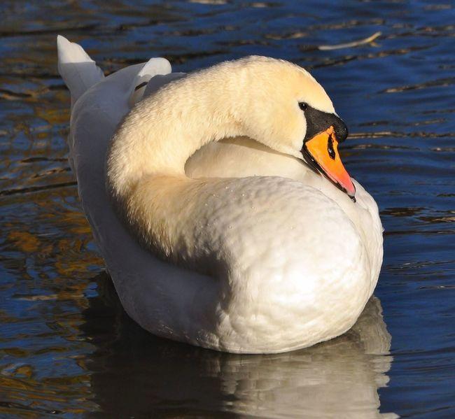 Swan Animals Beauty Birds