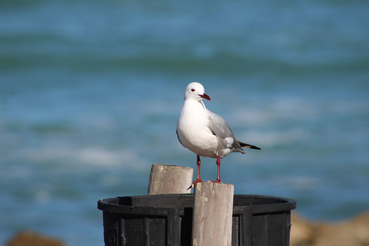 Animal Themes Animal Wildlife Animals In The Wild Beauty In Nature Bird Black-headed Gull Close-up Day Focus On Foreground Nature No People One Animal Outdoors Perching Sea Sea Bird Seagull Water Wooden Post