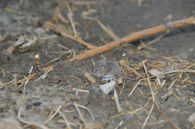 Animal Themes Animals In The Wild Campagna Field Mouse Nature No People Outdoors Topo Zoology