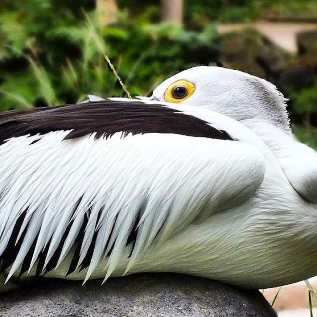 Australian Pelican (pelikan australia) Birdpark Baliisland VSCO Vscocam INDONESIA