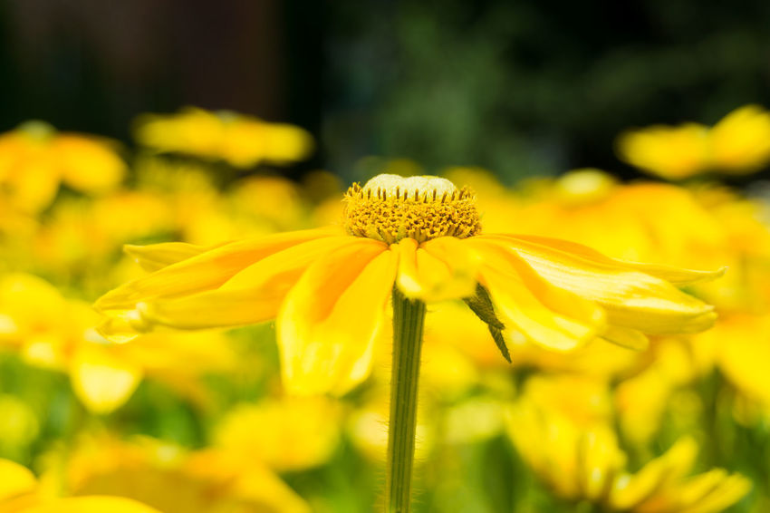 Close-up of a yellow Flower Head in Sunlight. Golden Daisy Bush Asteraceae Beauty Blooming Close-up Closeup Easy To Grow Euryops Chrysanthemoides Flower Head Flowering Flowers Freshness Garden Golden Daisy Bush Green Growing Growth Meadow Nature Plants Season  Summer Yellow