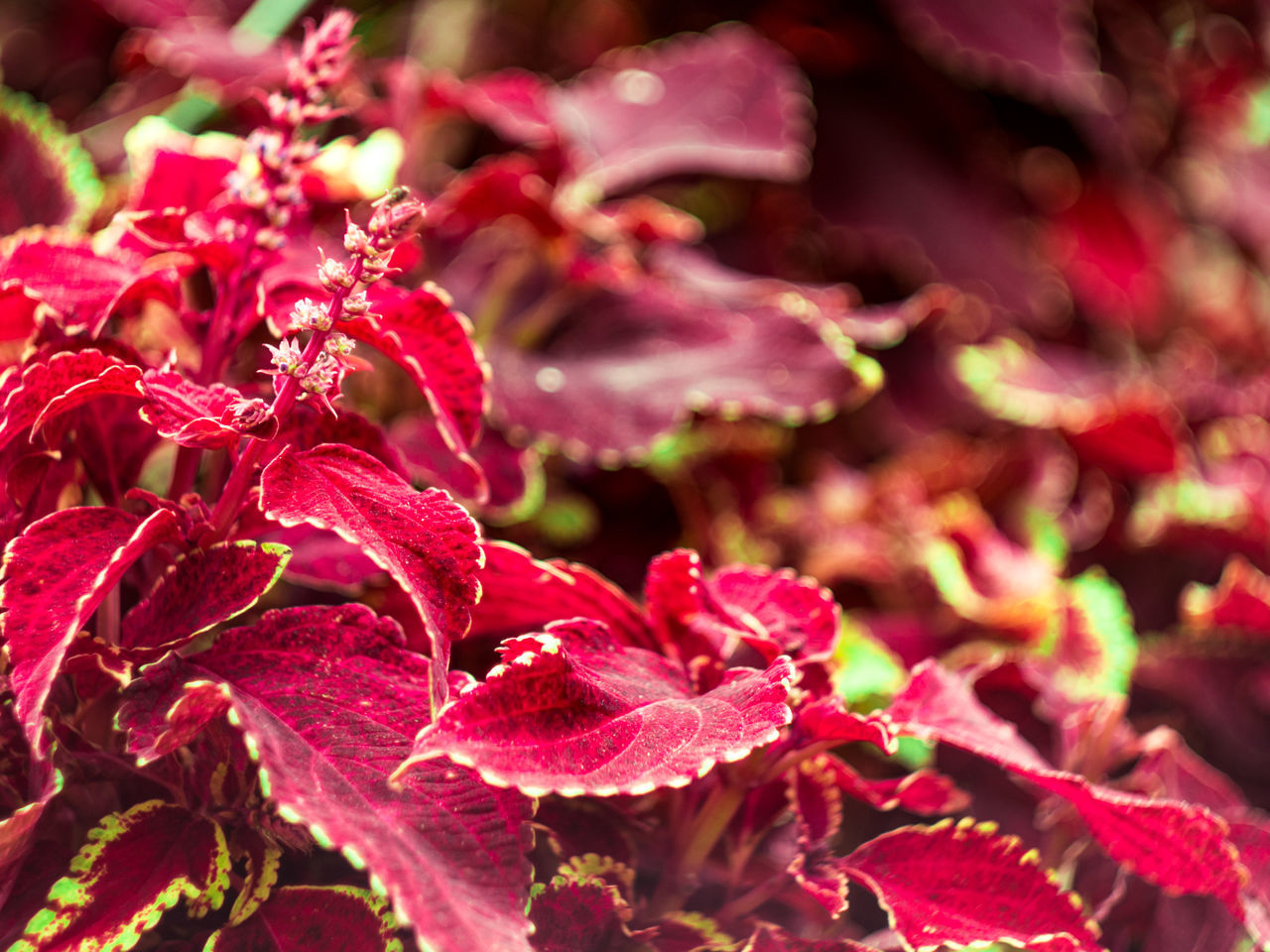 Beauty In Nature Botanical Gardens Botany Coleus Crimea Day Flora Flower Leaf Nature Nikita Botanical Gardens Pink Color Plant Red Yalta MC Helios 77M 4 Gawlet
