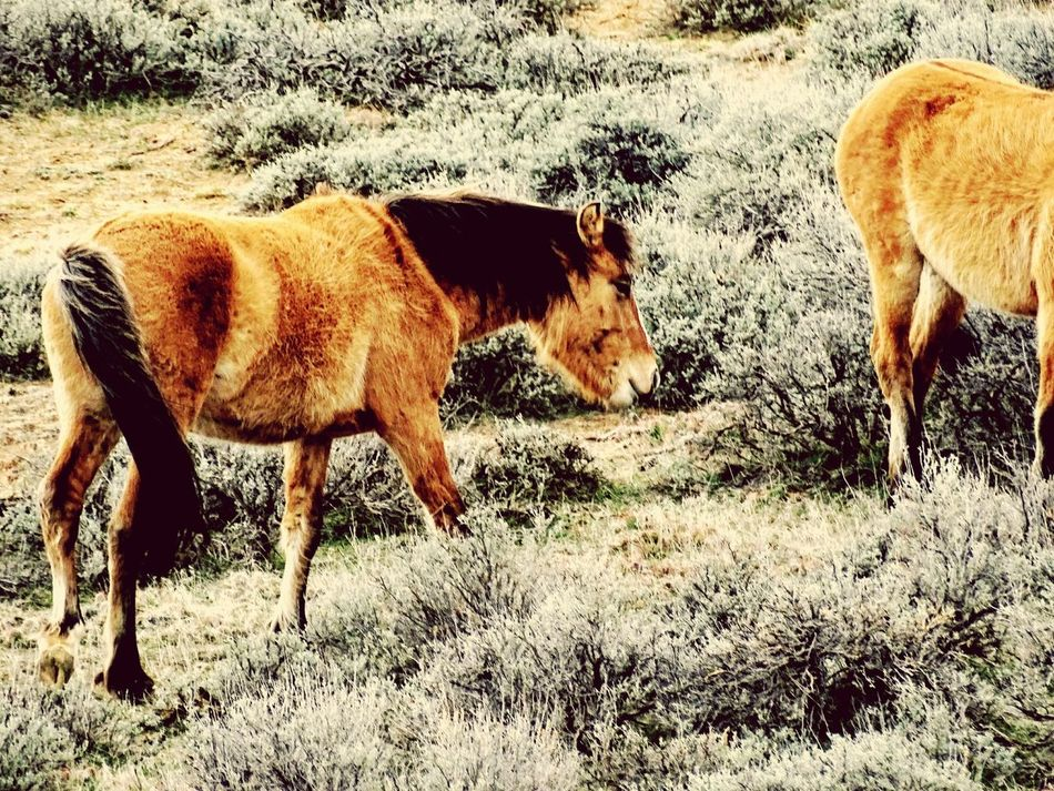 Animal Themes Herbivorous Standing Nature Young Animal No People Outdoors Beauty In Nature Day Wild Horses Wyoming Sagebrush Grazing Two Animals Nature Animal Wildlife Animals In The Wild Beauty In Nature