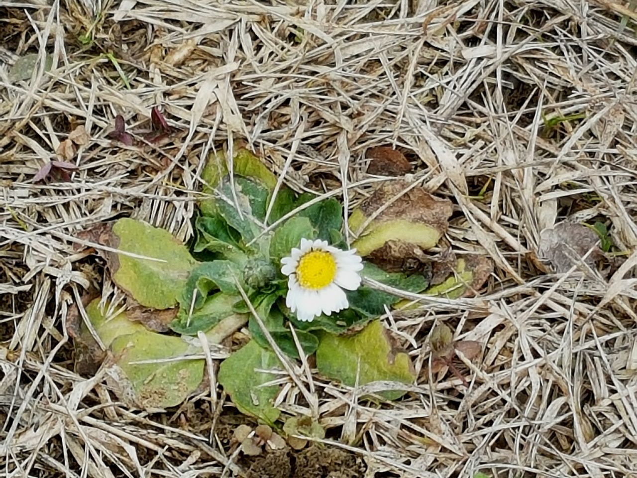 Flower Fragility Nature Beauty In Nature Freshness Flower Head Growth No People Outdoors Plant Day Waiting For Spring Daisy Close Up First Daisy