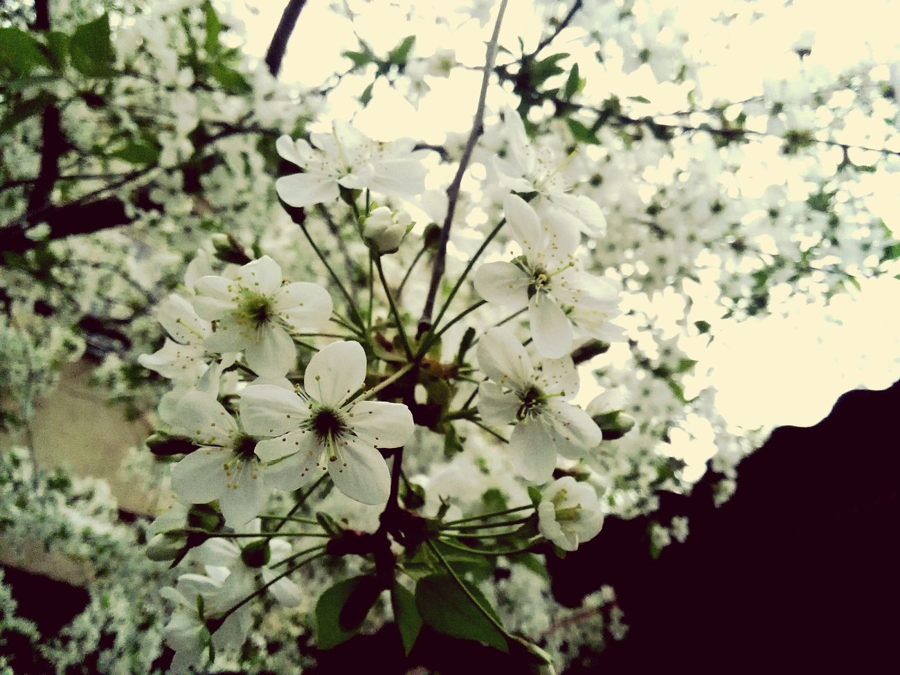 cherry cherryblossoms tree flowers spring springday Beauty In Nature Branch Springtime Nature Tree Flower Outdoors