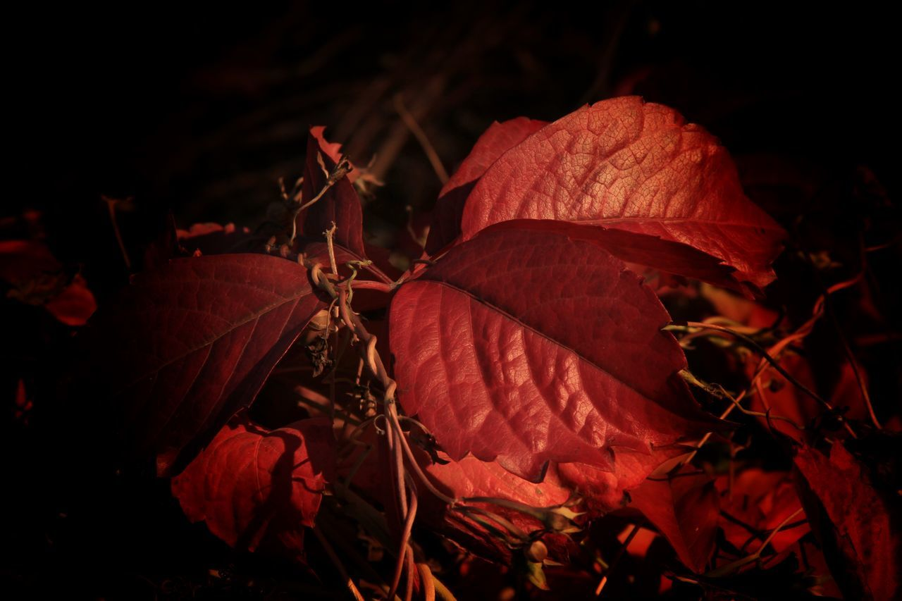 red, leaf, dry, autumn, nature, night, outdoors, no people, close-up, change, beauty in nature