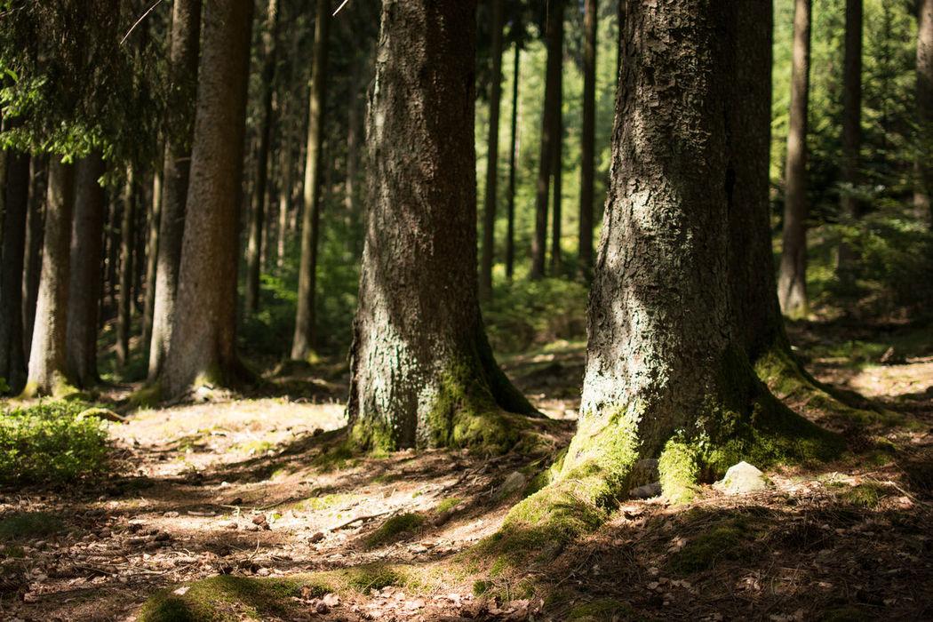 Saar-Hunsrück-Steig, Traumschleife Felsenweg Forest Green Color Growth Hiking Hikingadventures Nature Outdoors Saar-Hunsrück-Steig The Way Forward Traumschleife Tree Trunk Trees Wanderlust Wandern