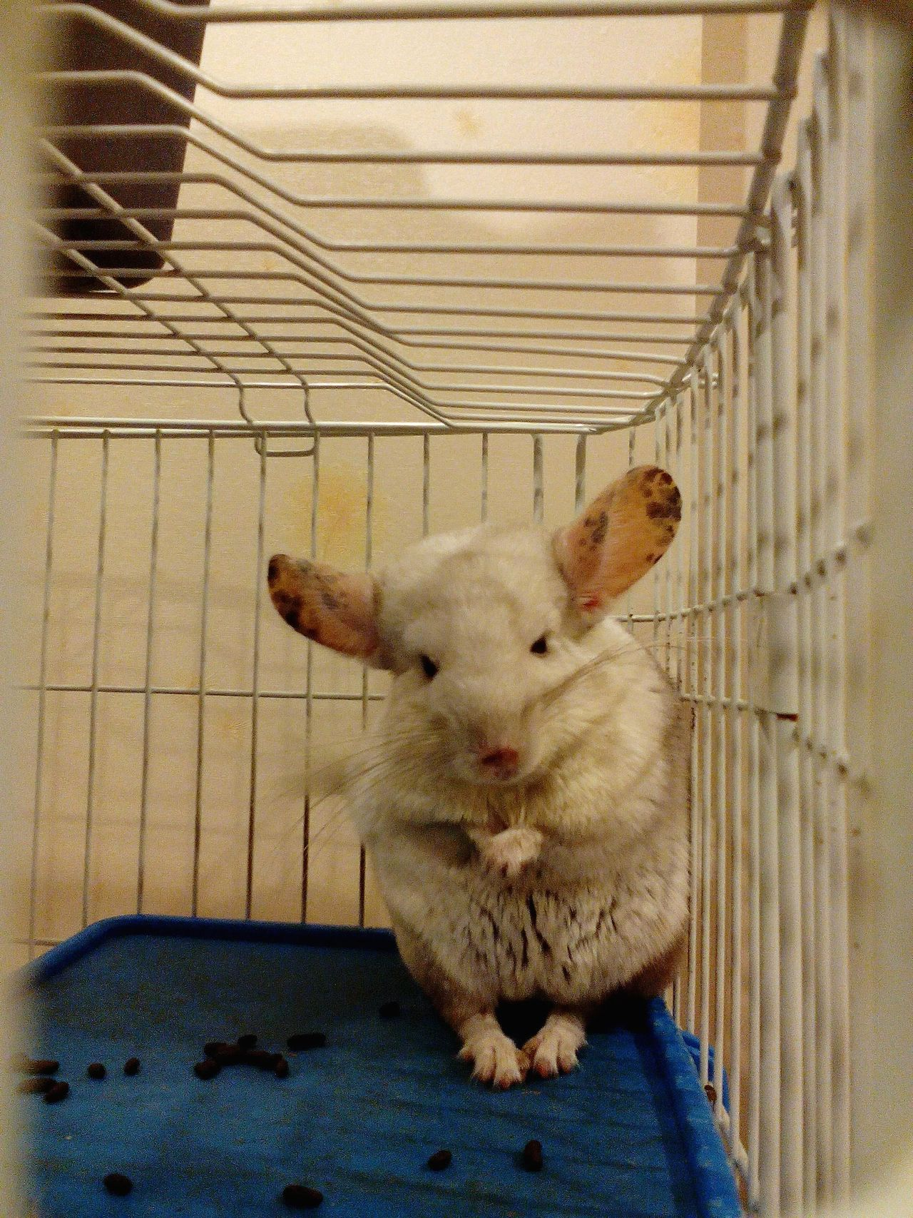 Chinchilla Pet Photography  Pet Lover Animal Lover Cute Animals In Doubt