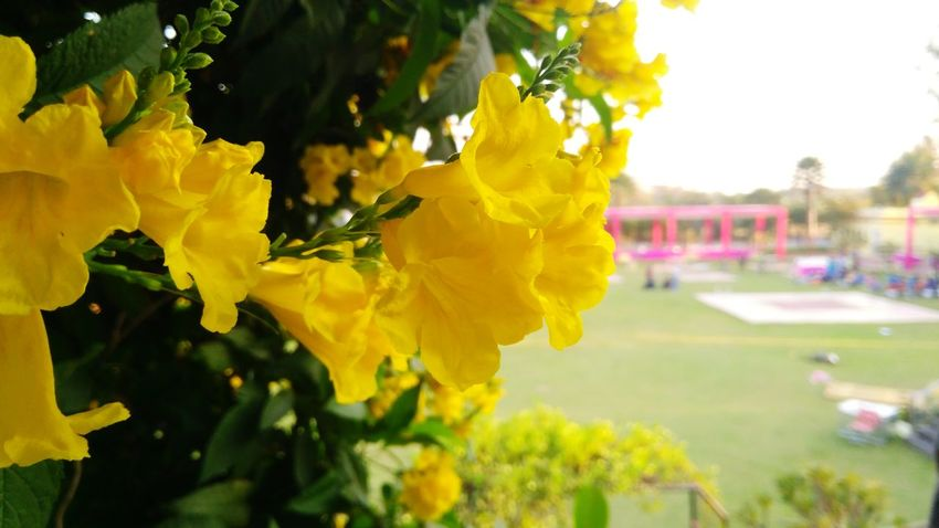 Yellow Flower Outdoors Nature Summer Day Multi Colored Close-up Freshness Happiness Beauty In Nature Rural Scene Tree