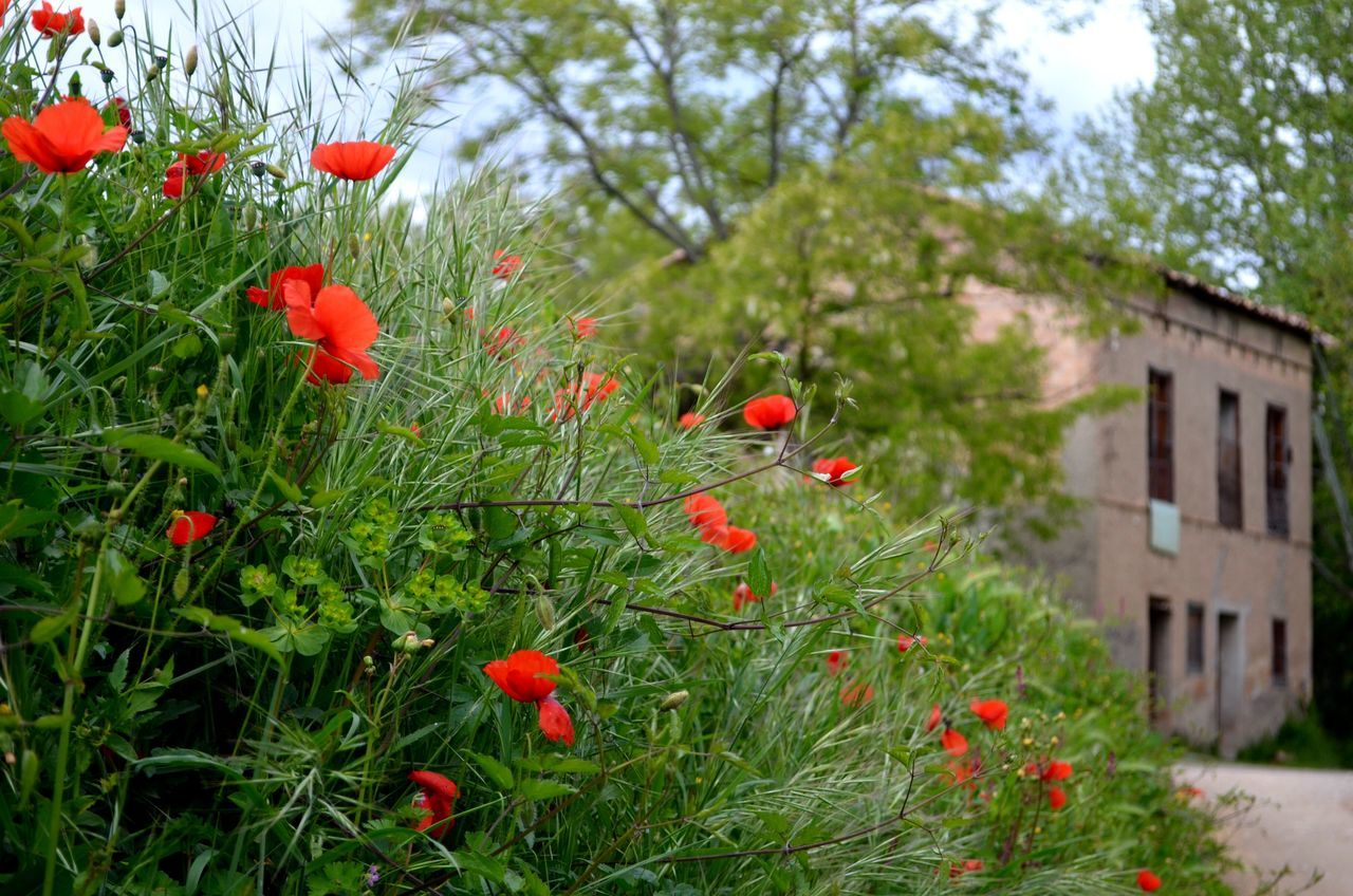 Red Growth Poppy Nature Outdoors No People Flower Day Green Color On The Road Beauty In Nature EyeEm Nature Lover Spring Flowers Springtime EyeEm Gallery Tree Plant Building Exterior Grass Close-up Freshness Flower Head Sky