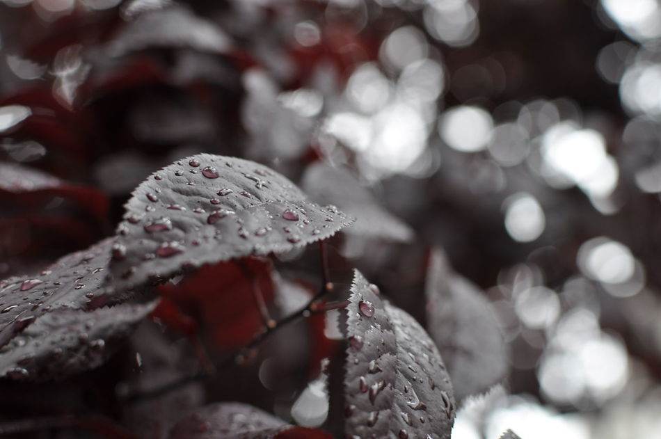 Beauty In Nature Close-up Day Focus On Foreground Freshness Leaves Nature No People Outdoors Rain Red