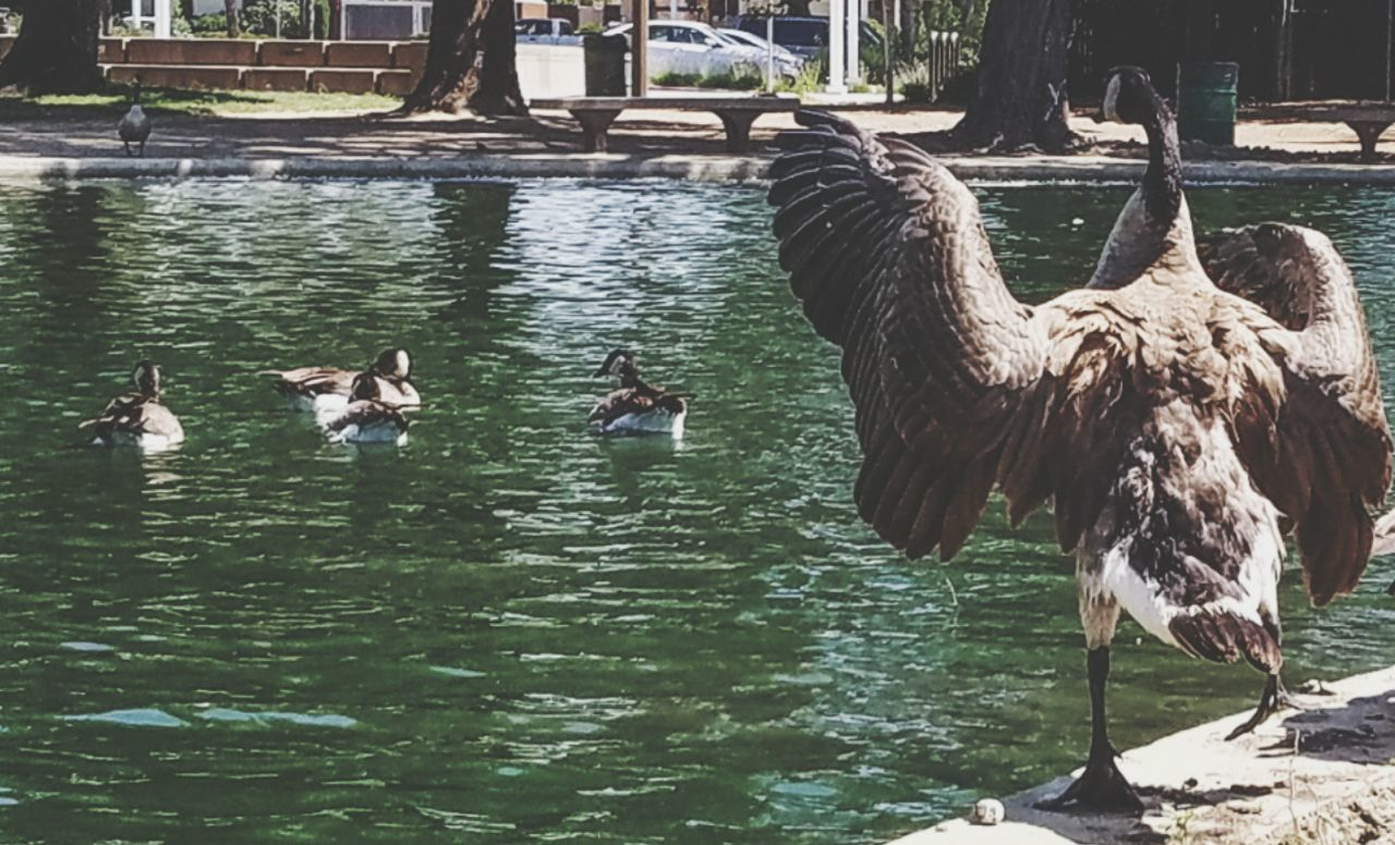 CAPTION THIS Birdseyeview Birds_collection Birds Of EyeEm  Geese Family Getting Inspired Eye4photography  Outdoors Photograpghy  Outdoor Pictures Outdoor Beauty Eyeem Photography Bayareaphotography TheGreatOutdoors