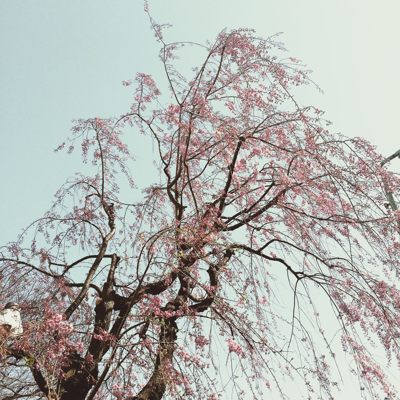 枝垂れ桜🌸 Cherry Blossoms Walking Around Setagaya