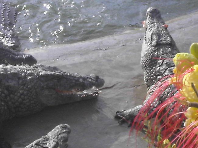 Animal Themes Animals In The Wild Crocodile Djerba  Feeding Animals Feeding Time Fish Outdoors Tunesia Tunesien Water Wildlife