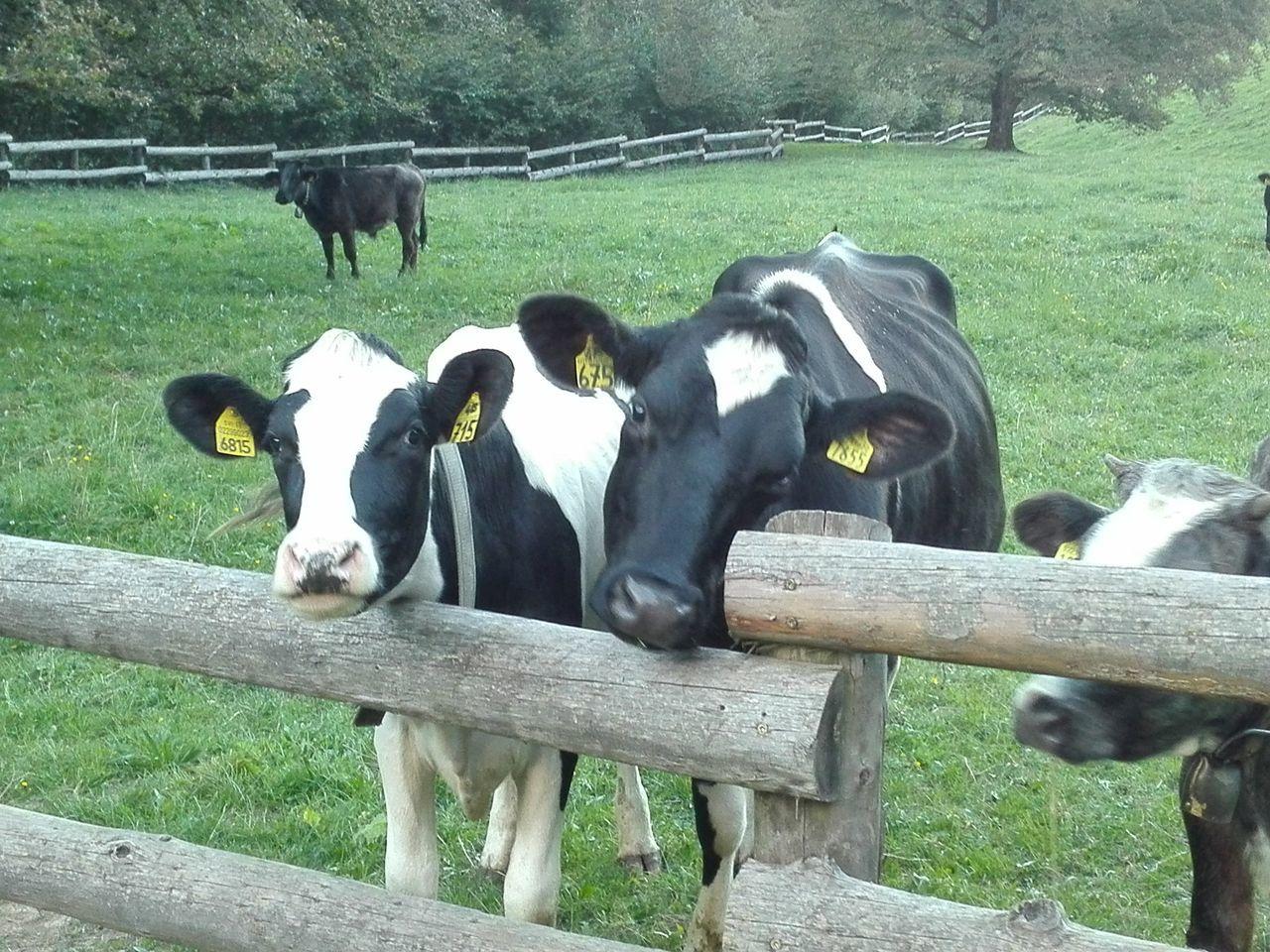 Malga Grassi Trentino Alto Adige Trentino  Mucca Cow Cowntry Milk Nature
