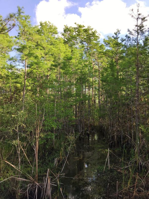 Creek in a cypress head Jonathan Dickinson State Park Cypress Trees  Creek Florida Park