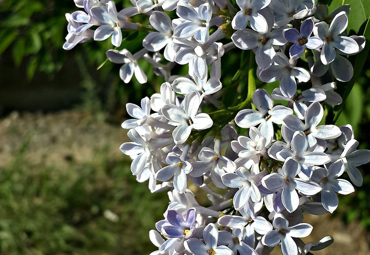 Russia Yekaterinburg Nature Beauty Flowers Lilacs EyeEm Nature Lover Природа цветы серень