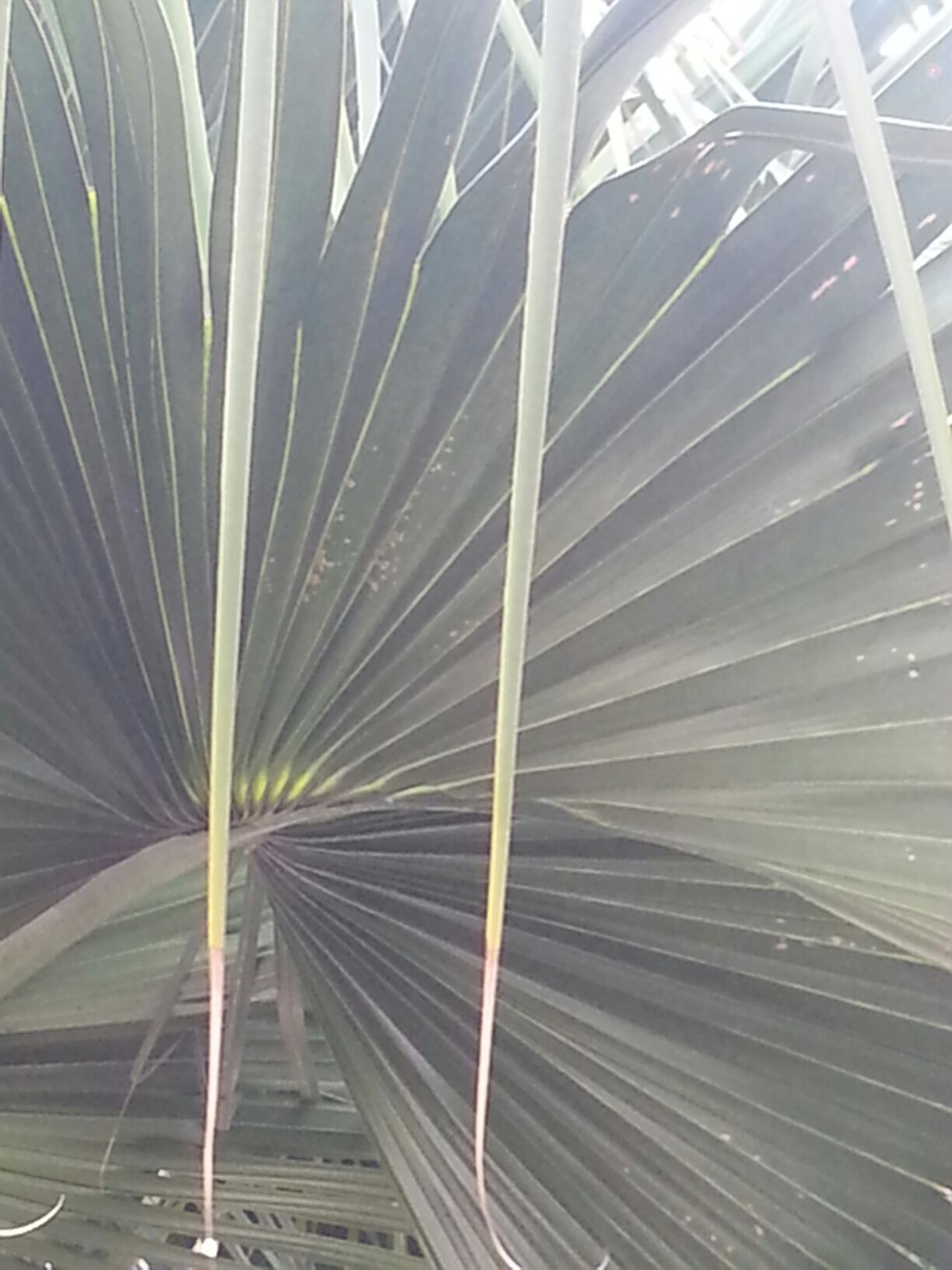 The palm tree outside my room Patterns In Nature Leaves Taking Photos Trip Photos