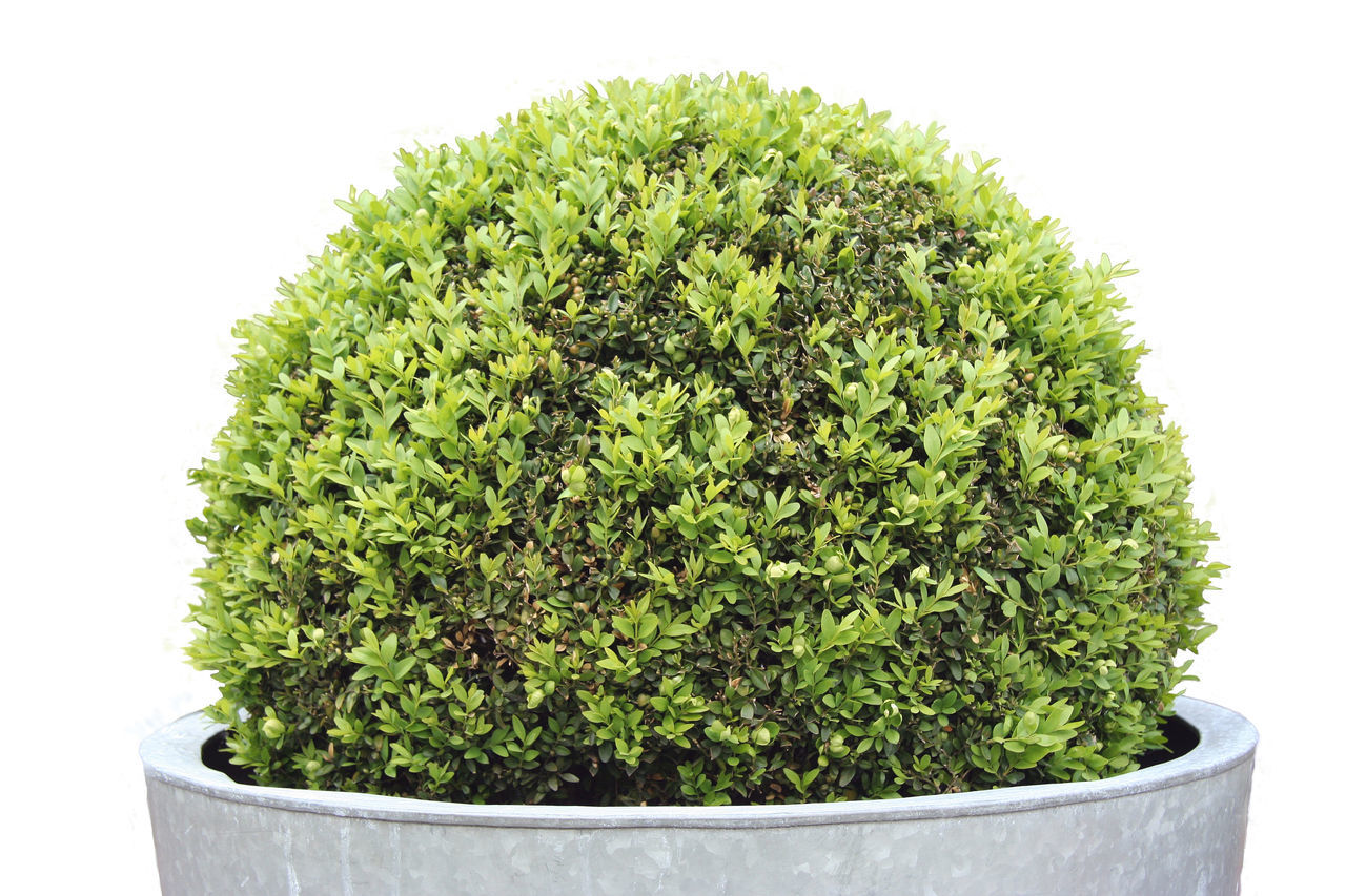 Potted Boxwood - Buxus sempervirens Boxwood Buxus Buxus Sempervirens Close-up Decoration Design English Garden Evergreen Formal Garden Garden Garden Photography Green Color Growth Isolated Isolated On White Lush Foliage Nature Plant Pot Potted Plant Single Tree Small Studio Shot Tree White Background