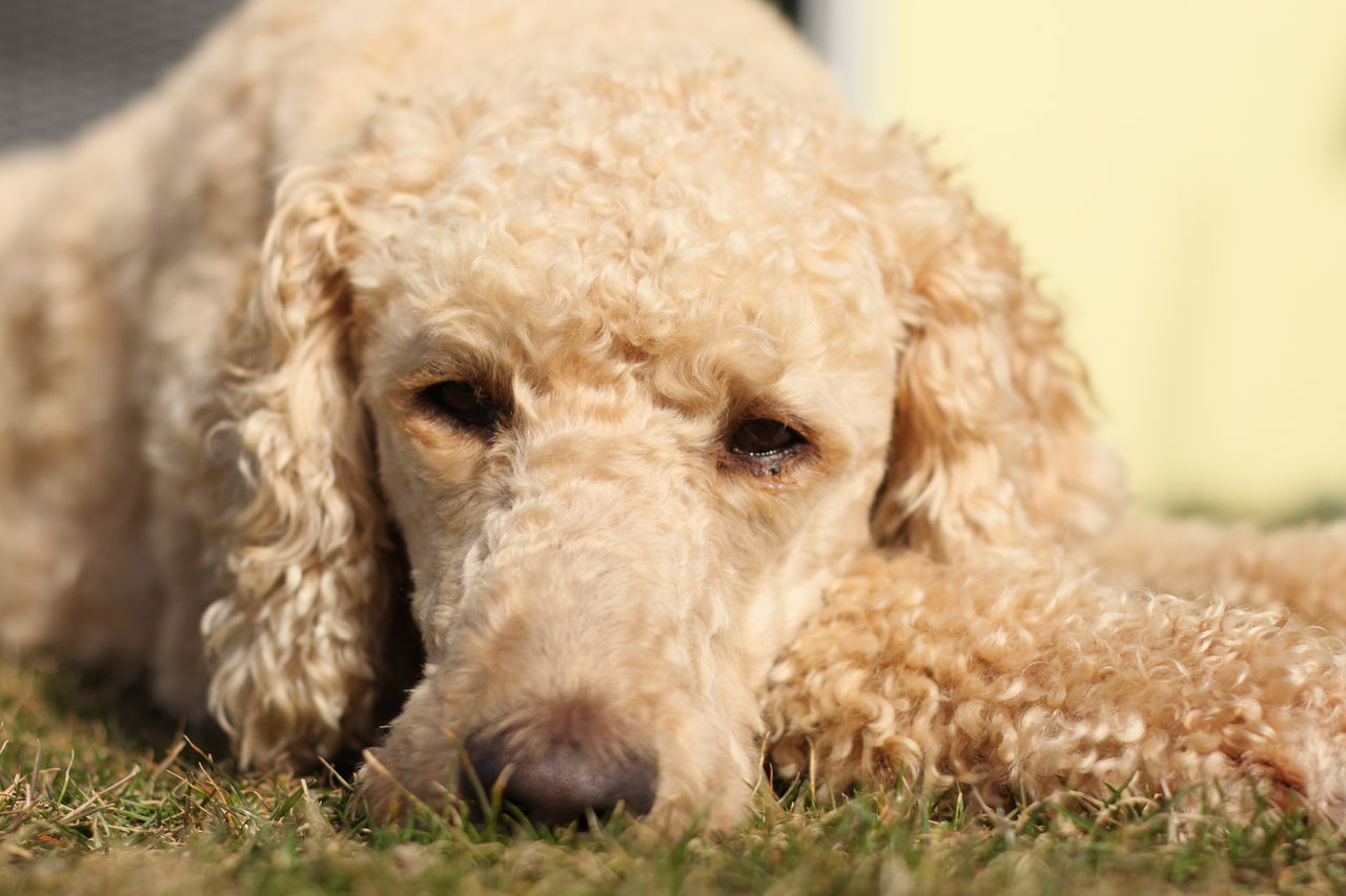 Animal Themes Close-up Day Dog Domestic Animals Dreaming Focus On Foreground Grass Laying Down Lazy Mammal Nature No People One Animal Pets Poodle Relax Resting Selective Focus Staring Sunbathing Sunshine Tired Waiting Fawn