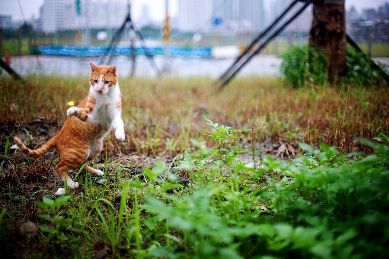 Domestic Animals Grass One Animal Pets Nature Animal Themes Mammal 街貓 Nature Animals In The Wild The Great Outdoors - 2017 EyeEm Awards Animal Wildlife Animal Ginger Cat Katze Outdoors Feline