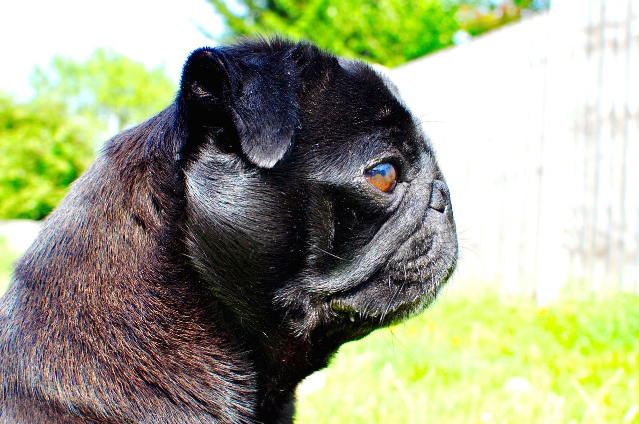 Beautiful stock photos of pugs, Animal Themes, Black Color, Close-Up, Day