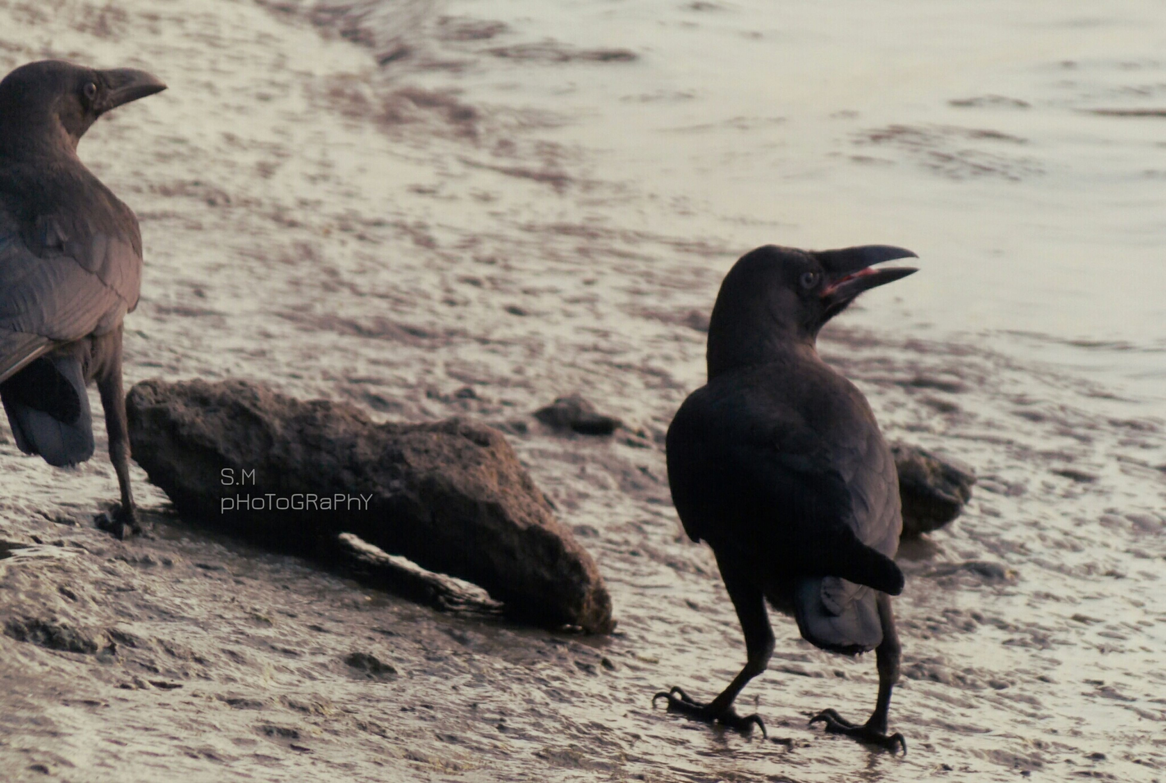 animal themes, one animal, water, animals in the wild, black color, bird, wildlife, sea, beach, two animals, standing, full length, domestic animals, focus on foreground, nature, dog, side view, mammal, shore, zoology