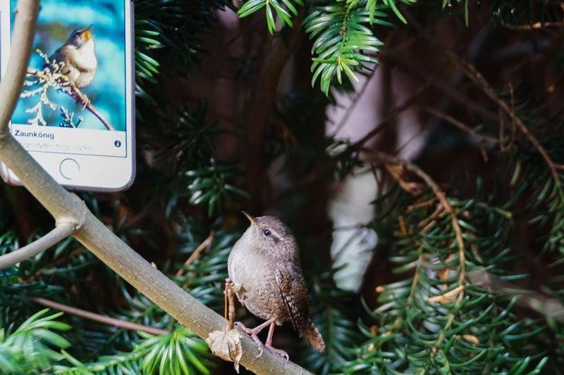 ganz schön hochnäsig 😂 Wren Apple IPhon6 IPhone Animal Themes Bird One Animal No People Focus On Foreground Animals In The Wild Nature Close-up Tree
