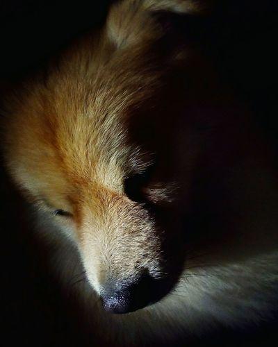 Pomeranian. Dog Animal Pet SeanParker