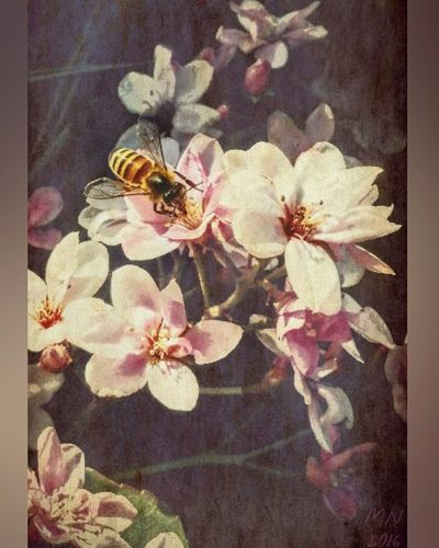 Bee & Blossoms - 2016 Beautiful Nature Pink Flowers Blossoms  Bees Naturelovers Flowers Flowerporn Flowers, Nature And Beauty