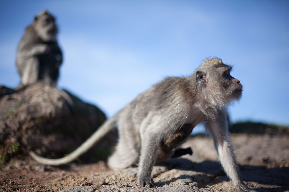 Beautiful stock photos of monkey, Animal Themes, Day, Front View, Landscape