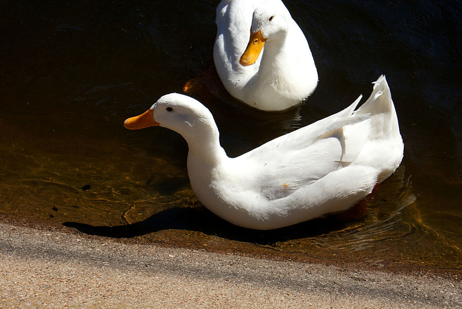 Two white ducks swim up to the edge of the pond on a sunny day. Animal Themes Animals In The Wild Beak Bird Close-up Day Ducks Ducks In Water Nature No People Outdoors Park Sunlight And Shadow Swimming Water White Color White Ducks