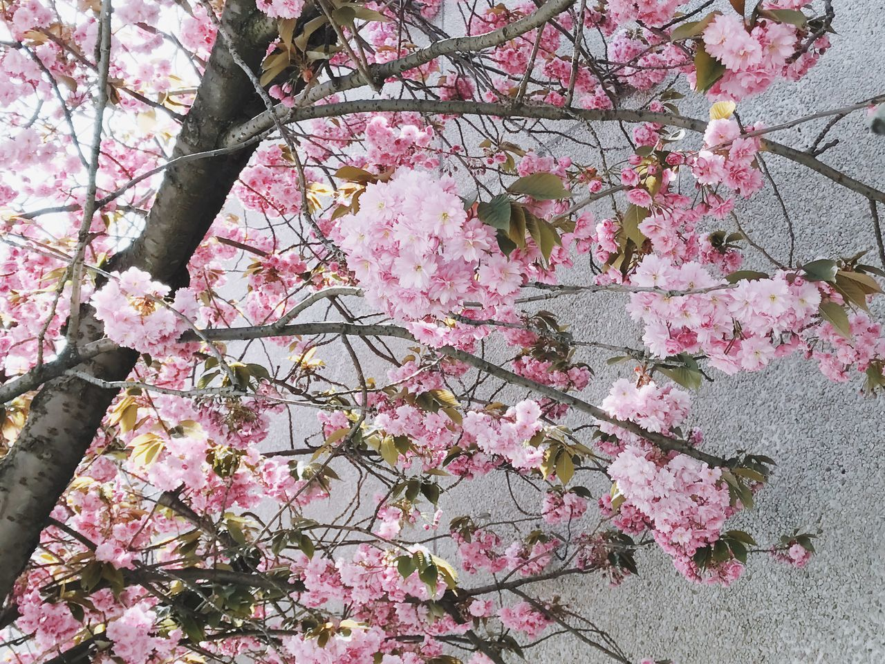 flower, pink color, growth, blossom, fragility, beauty in nature, springtime, cherry blossom, tree, freshness, branch, cherry tree, nature, botany, no people, apple blossom, petal, low angle view, rhododendron, outdoors, day, blooming, close-up, flower head, sky