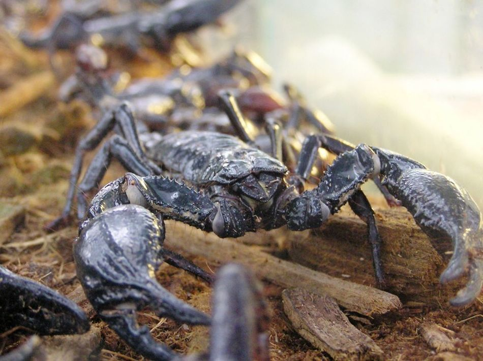 Beautiful stock photos of scorpion, Animal Themes, Animals In The Wild, Arachnid, Black Color