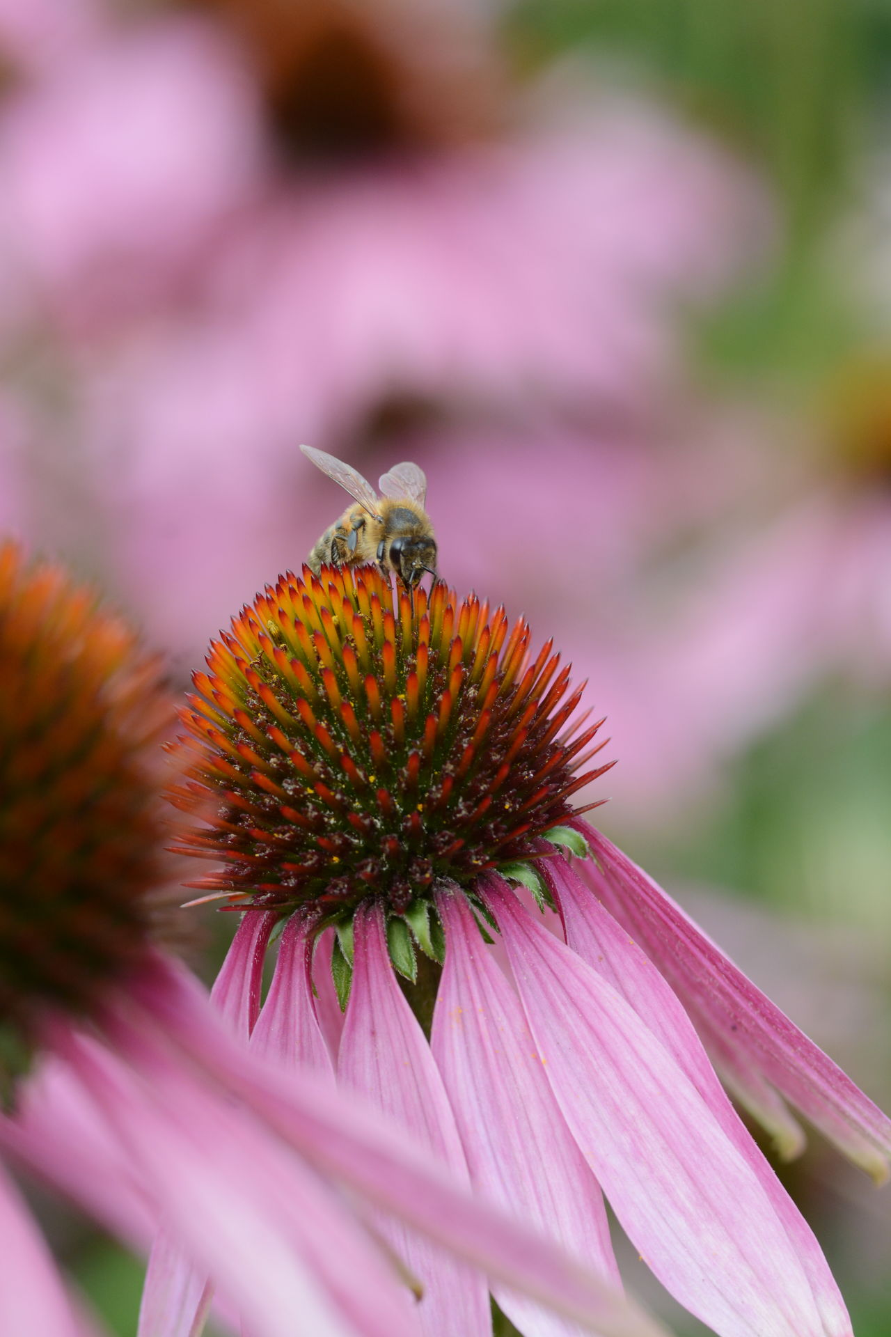 Bee Blooming Close-up Eastern Purple Coneflower Echinacea Purpurea Flower Flower Head Insect Medicinal Plant Nature Petal Pollen Pollination