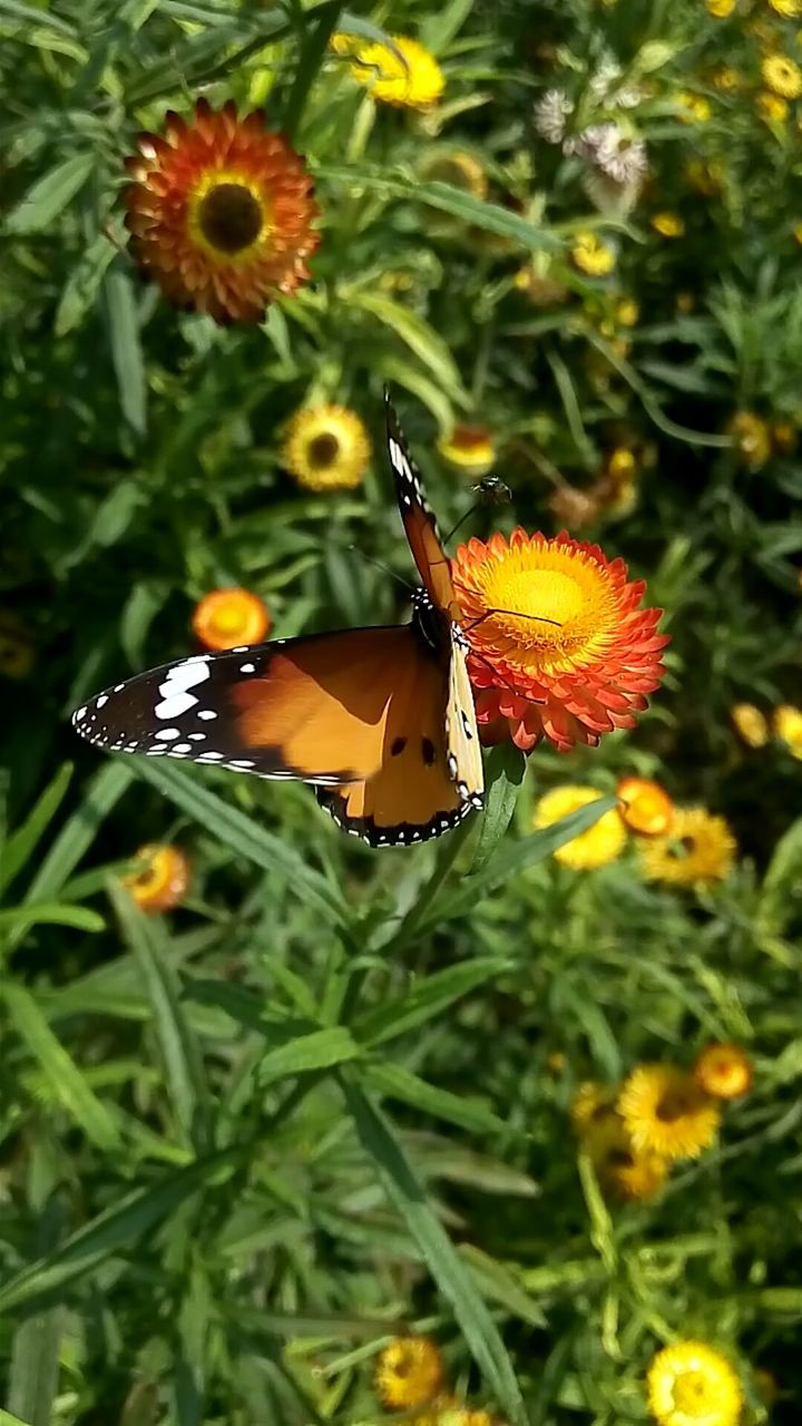 insect, animals in the wild, animal themes, one animal, butterfly - insect, flower, nature, plant, growth, butterfly, animal wildlife, no people, outdoors, close-up, fragility, beauty in nature, green color, freshness, pollination, day, flower head, perching