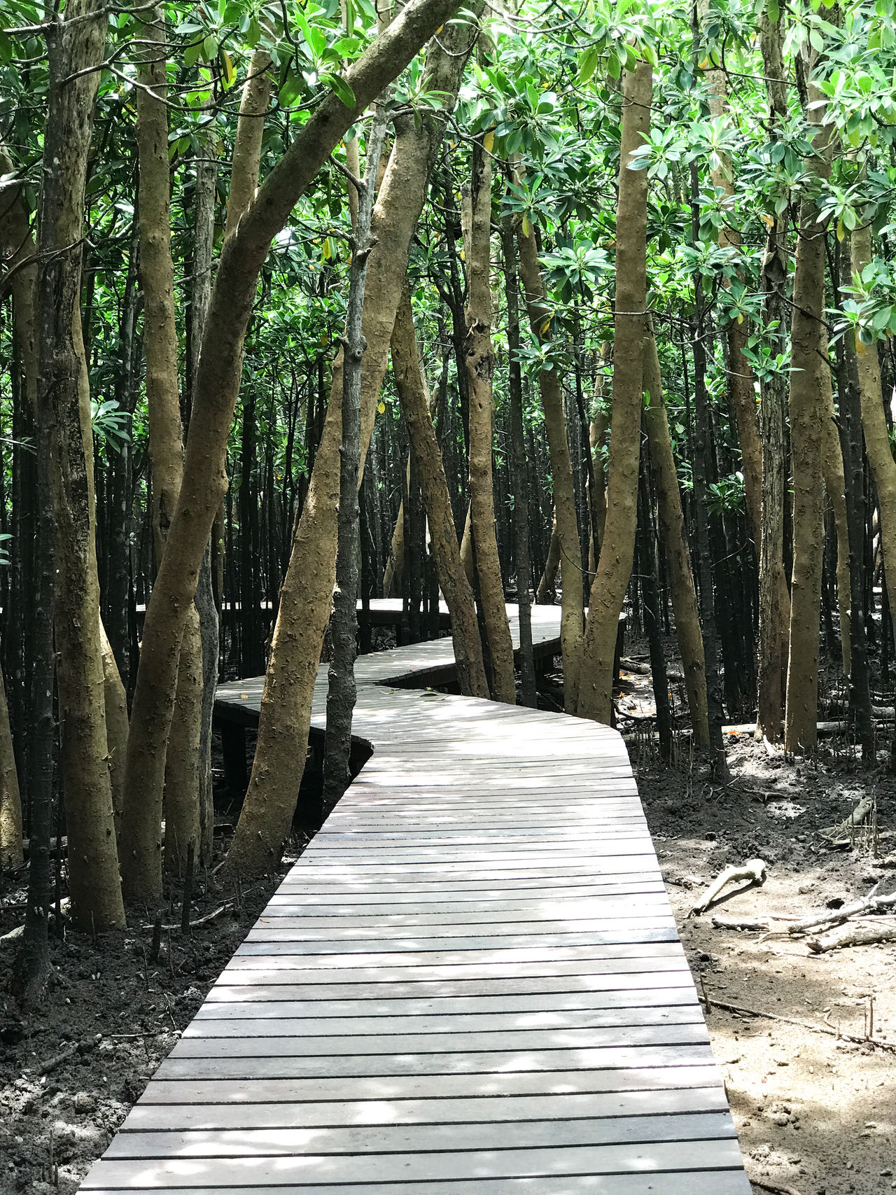 Beauty In Nature Boardwalk Day Forest Freshness Green Color IPhoneography Landscape Mangrove Forest Mangroves Nature No People Outdoors Tranquil Scene Travel Photography Tree Tree Trunk