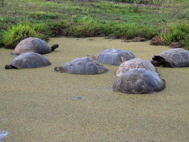 Animal Animal Themes Animals In The Wild Culture Day Full Length Galapagos Tortoise Giant Tortoise Grass Green Color Herbivorous Mammal National Park Nature Outdoors Pebble Resting Tranquility Waterfront Wildlife Zoology