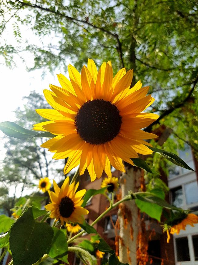 Flower Sunflowers Flower Head Beauty In Nature Yellow Freshness In Bloom Nature Nature_collection City Nature City Life City Street Street Life Sunny Day Botany GalaxyS7Edge