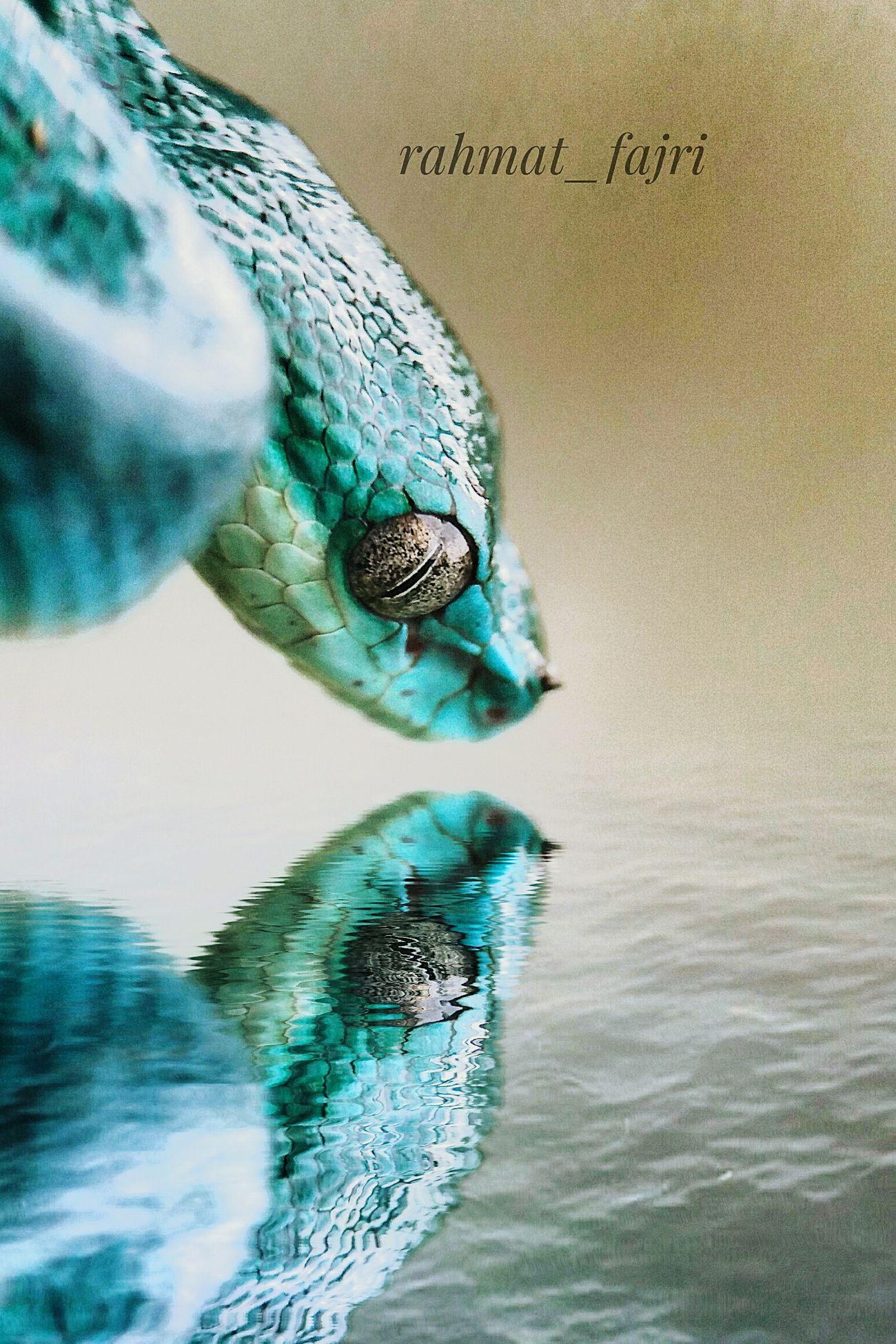 Trimesurus Cryptelytrop Insularis One Animal Animal Wildlife Animal Themes Water Venom😈 Venom Venomous Snake Venomoussnake Animal Venomousofinstagram Venomous Reptile Animals In The Wild Snake Snake Photography Snakesofinstagram Snake Eyes Snakehead Snakebites Snakes Of Eyeem Snakelover