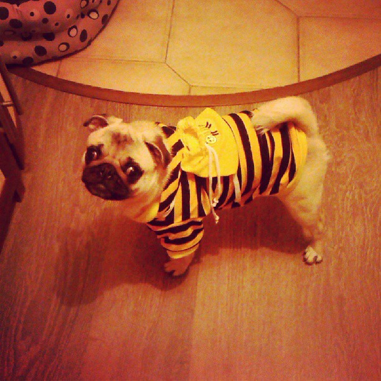 Я несу вам мешочек меда Honeydog Pug