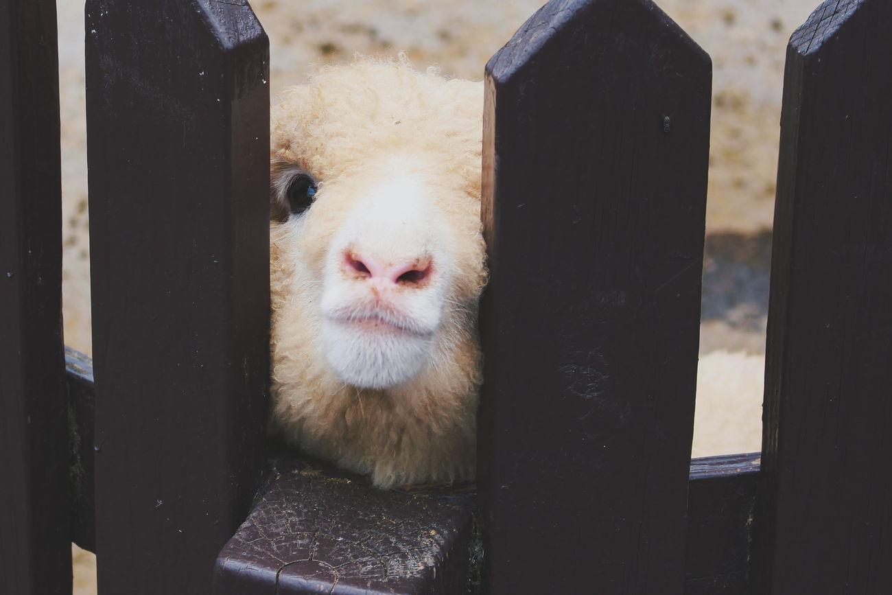 kiss me please :3 Animal Animal Photography Animals Close Up Close-up Sheep Sheep Farm Travel To Taiwan Trip To Taiwan TakeoverContrast